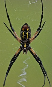 359px-Underside_of_the_argiope_aurantia